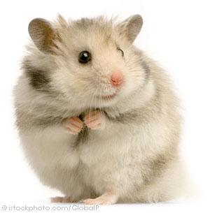 Image depicting the Category Hamster/Gerbil/Mouse/Rat