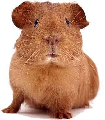 Image depicting the Category Guinea Pig/Ferret